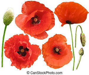 Set of field poppies. Isolated on white