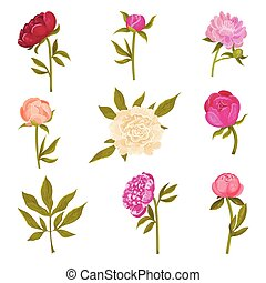 Set of flowers peonies in different shades. Vector illustration on a white background.