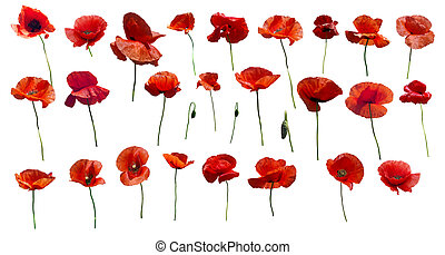 Set of flowers poppies