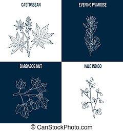 Vector collection of four hand drawn medicinal and eatable plants, castorbean, evening primrose, barbados nut, wild indigo