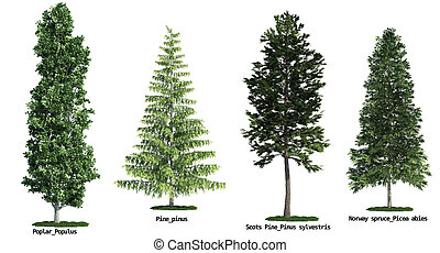 set of four trees isolated against pure white, Poplar, Scots...