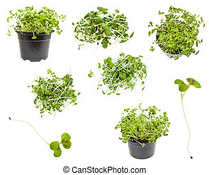set of fresh green mustard cress plant isolated