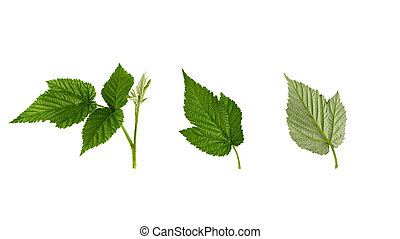 set of fresh green raspberry leaves isolated on a white background