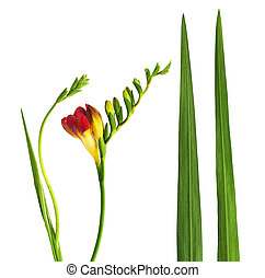 Set of fresh red freesia flower, leaves and buds
