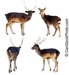 Set of full length of fallow deer (Dama dama). Isolated over white