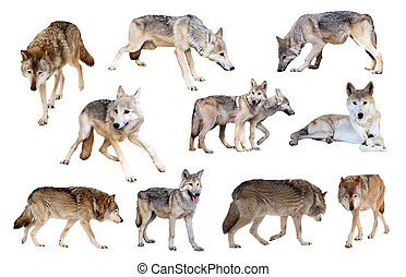 grey wolves. Isolated over white - Set of grey wolves. ...