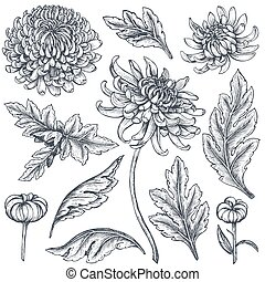 Set of hand drawn chrysanthemum flowers, branches, leaves...