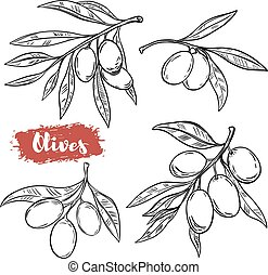 Set of hand drawn olive illustrations isolated on white background. Design elements for poster, menu. Vector illustration