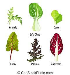 Set of healthy edible herbs green arugula, bok choy, corn leaves, organic chard, mizuna and radicchio chicory vector illustration isolated on white
