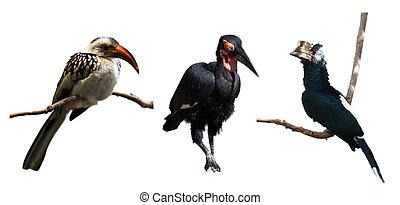 Set of hornbills . Isolated over white