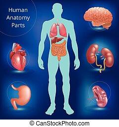 Set of human anatomy parts