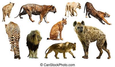 Set of  hyena  and other feliformia. Isolated on white