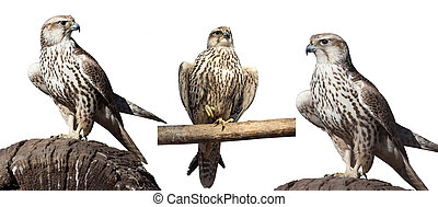 wild hawk isolated - set of images of wild hawk isolated ...