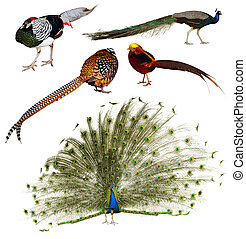 Set of Indian Peafowl and pheasant family birds. Isolated over white background