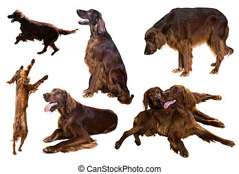 Set of Irish Setters  on white
