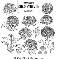 Set of isolated chrysanthemum collection 1. Cute flower illustration in hand drawn style. Black outline and white plane on white background.