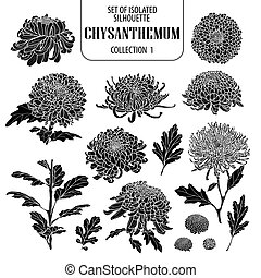 Set of isolated chrysanthemum collection 1. Cute flower illustration in hand drawn style. Silhouette on white background.