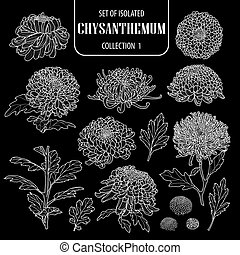 Set of isolated chrysanthemum collection 1. Cute hand drawn flower vector illustration only white outline.