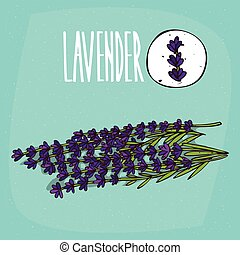 Set of isolated plant Lavender flowers herb