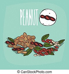 Set of isolated plant Peanut nuts herb