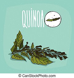 Set of isolated plant Quinoa leaves herb