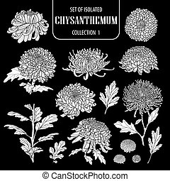 Set of isolated white silhouette chrysanthemum collection 1.Cute hand drawn flower vector illustration in white plane and no outline.