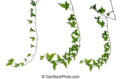Set of ivy stems isolated over white.