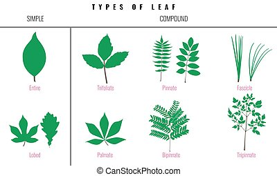 Set of Leaf types infographics. Silhouette Vector