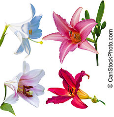 set of lily flowers isolated on white background