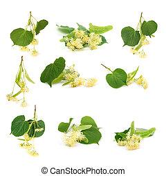 set of linden flowers on white background