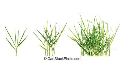 long blades of green grass over white background.