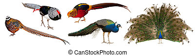 Set of male indian Peafowl and pheasant family birds. Isolated over white background