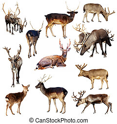Set of many deer. Isolated over white background