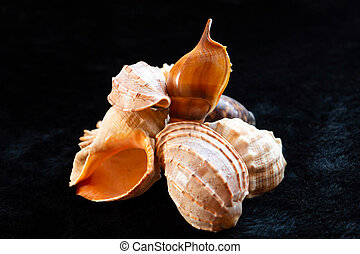 set of nautilus shells beige and with a pearl core on a dark background