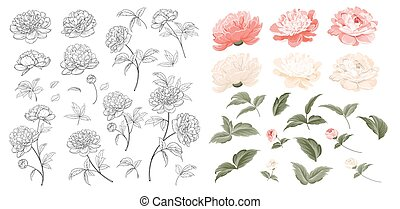 Set of Peonies flowers elements. Collection of peony isolated on white background. Beautiful set of flowers.
