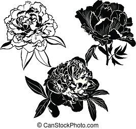 set of peonies flowers