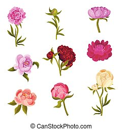 Set of peonies in different shades. Vector illustration on a white background.