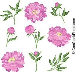 Set of peonies. Vector illustration on a white background.