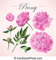 Set of peonies