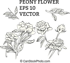 Set of peony flowers in vector on white background