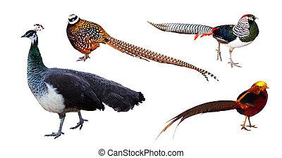 Set of pheasant family birds. Isolated over white background