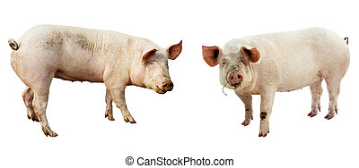 set of pig. farm animal isolated on white