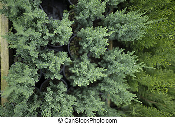 Set of plants for decorating the garden. Cypress seedlings in small pots