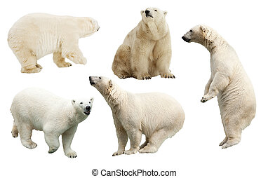 Set of polar bear. Isolated over white
