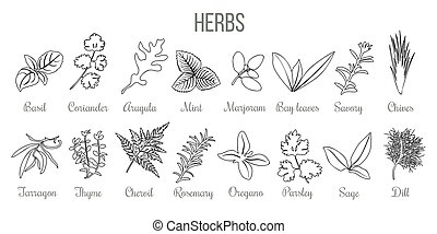Set of popular culinary herbs. realistic style. icon outline sketch Basil, coriander, mint, rosemary, basil, sage, thyme, parsley silhouette