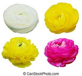 Set of Ranunculus Flowers