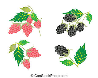 Set of Raspberry and Blackberry on White Background