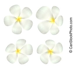 set of real white plumeria flower vector