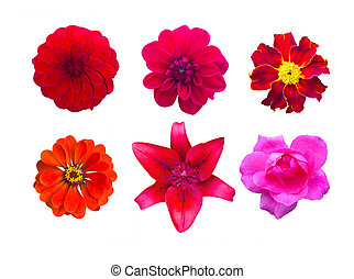 Set of red garden flowers isolated. marigold, Dahlir . Lily and zinnia