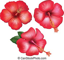 Set of red hibiscus flowers